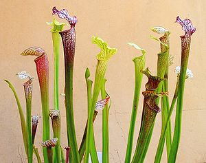 Sarracenia - Sarracenia species and hybrids