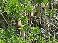 Sausage Tree (Kigelia africana) fruits (11530936403).jpg