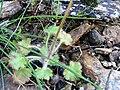 Saxifraga granulata LeavesandStem 2009March19 SierraMadrona.jpg