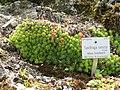 Saxifraga sancta - Botanischer Garten München-Nymphenburg - DSC07659.JPG