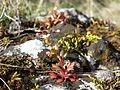 Saxifraga tridactylites sl15.jpg