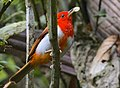 Scarlet-and-white Tanager.jpg