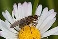 Scathophaga stercoraria 201204a.jpg