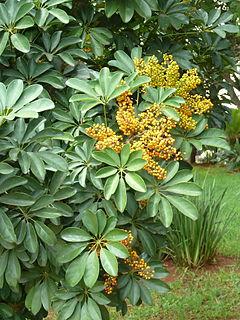 <i>Schefflera arboricola</i> species of plant