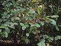 Scleropyrum pentandrum or Scleropyrum wallichianum 02.JPG
