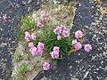 Sea Pinks, St Ninian's Isle.jpg