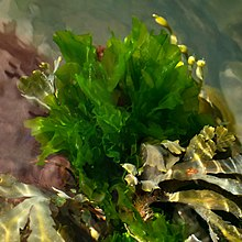 Sea lettuce in Brofjorden 1 - cropped.jpg