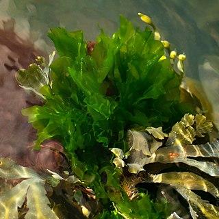 <i>Ulva lactuca</i> Species of chlorophyte green alga