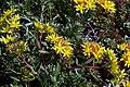 Sedum floriferum Weihenstephaner Gold 5zz.jpg