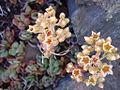 Sedum obtusatum (12509413393).jpg
