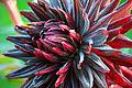 Semi-Kaktus-Dahlie Black Jack 5.jpg