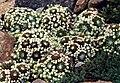 Sempervivum arachnoideum 'Minor'.jpg