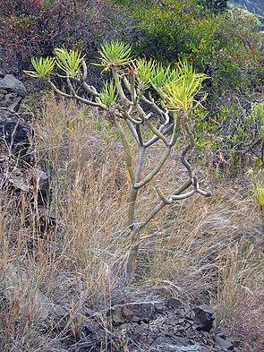 Senecio neriifolia La Palma.jpg