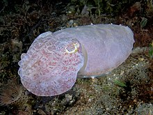 Sepia latimanus (Reef cuttlefish) white coloration.jpg