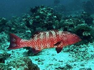 Roving coralgrouper - Image: Serranidae Plectropomus pessuliferus marisburi 001
