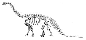 Camarasaurus - Reconstruction of the same species based on more complete material by E.S. Christman, 1921