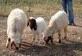 Sheep in Kurdistan.jpg