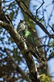 Shining Bronze-Cuckoo - New Zealand (24403060207).jpg