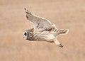Short eared Owl Lacreek NWR (12824610503).jpg