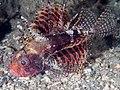Shortfin lionfish (Dendrochirus brachypterus) (40555011540).jpg