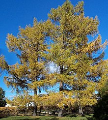 Larch - Wikipedia, the free encyclopedia