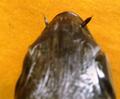 Siganus luridus, nostril.png