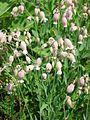 Silene vulgaris-Salzburg, Flachgau, Eugendorf-bE-HdN-1112a.jpg