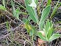 Silene vulgaris StemandLeaves 11April2009 CampodeCalatrava.jpg