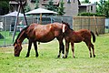 Silesian horse mare with foal.jpg