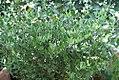 Simmondsia chinensis 2zz.jpg