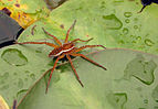 Six-spotted Fishing Spider Dolomedes triton 1733px.jpg