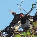 Skata Common Magpie (14519087122).jpg