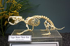 Skeleton of Cape Dune Mole Rat.jpg