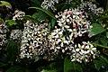 Skimmia japonica, blossom2.jpg