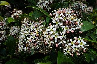 Skimmia - Skimmia japonica in blossom