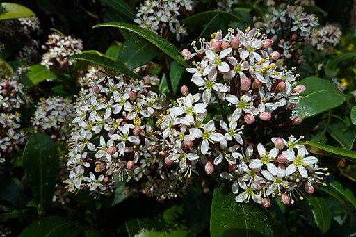 Skimmia japonica, blossom2