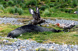 Skua - Two skuas and a giant petrel fighting over a dead Antarctic fur seal
