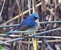 Slaty-blue Flycatcher.jpg