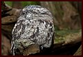 Sleeping Frogmouth-1and (4196447575).jpg