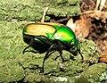 Smargdesthes africana smaragdina 2.JPG