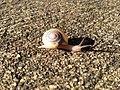 Snail shell animal spiral mollusk scallop invertebrate slime-1119691.jpg!d.jpg