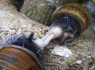 Mating - Image: Snails mating