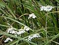 Sneezewort - Achillea ptarmica (25689618368).jpg