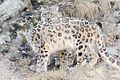 Snow Leopards Posed Together (13882844745).jpg