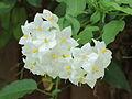 Solanum jasminoides 'Album'.JPG