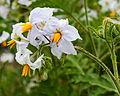 Solanum sisymbriifolium. Locatie De Kruidhof 02.JPG