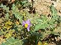 Solanum virginianum (429437567).jpg