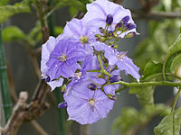 Solanum wendlandii1SHSU