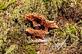 Sombere honingzwam (Armillaria ostoyae). Locatie, Sauerland Duitsland 03.jpg