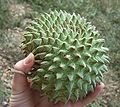 Soncoya (Annona Purpurea).jpg